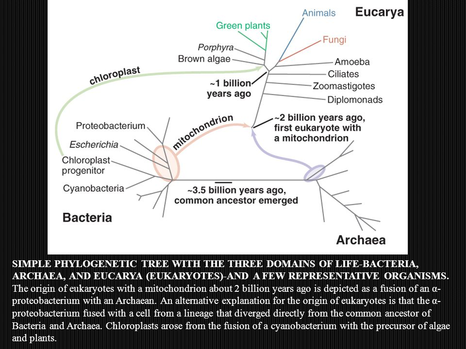 SIMPLE PHYLOGENETIC TREE WITH THE THREE DOMAINS OF LIFE-BACTERIA, ARCHAEA, AND EUCARYA (EUKARYOTES)-AND A FEW REPRESENTATIVE ORGANISMS.