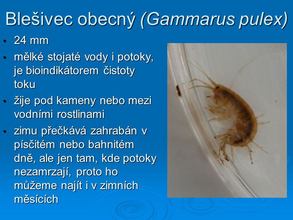 Blešivec obecný (Gammarus pulex)