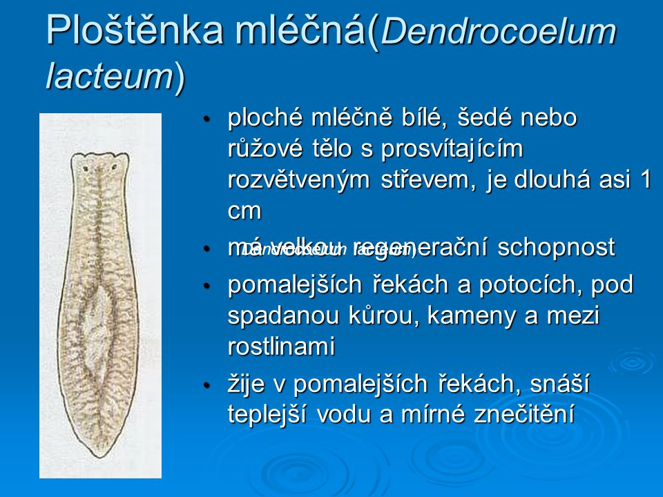 Ploštěnka mléčná(Dendrocoelum lacteum)