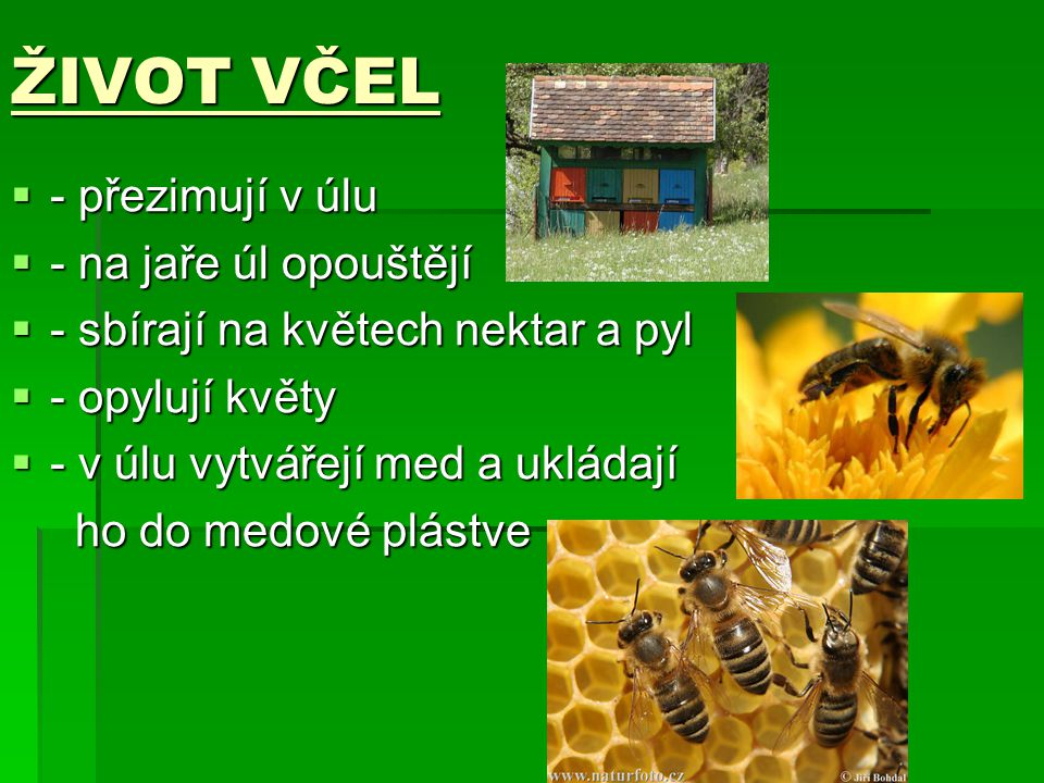 ŽIVOT VČEL - přezimují v úlu - na jaře úl opouštějí