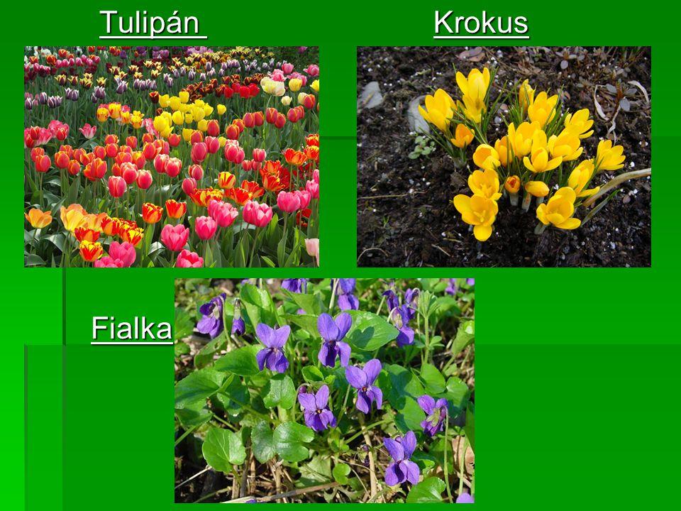 Tulipán Krokus Fialka