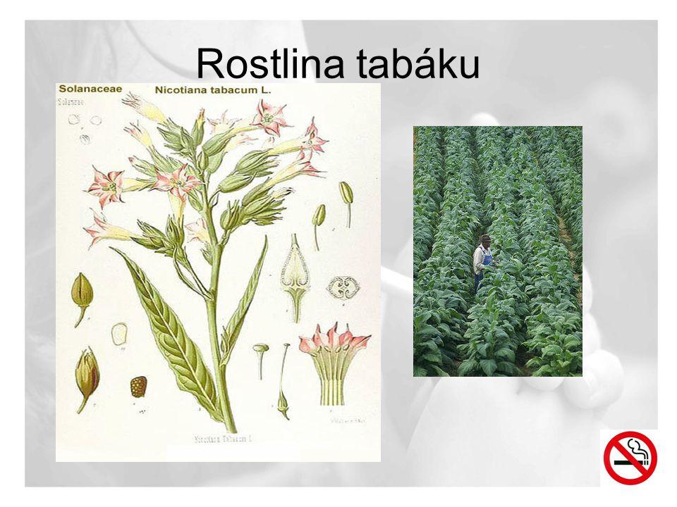 Rostlina tabáku