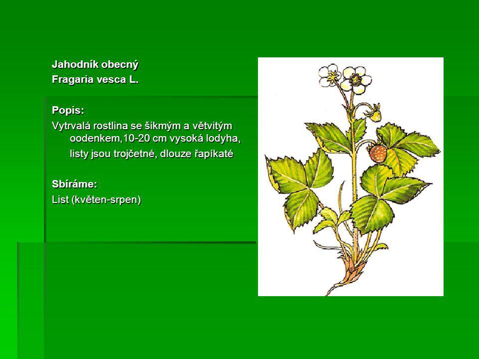 Jahodník obecný Fragaria vesca L. Popis: Vytrvalá rostlina se šikmým a větvitým oodenkem,10-20 cm vysoká lodyha,