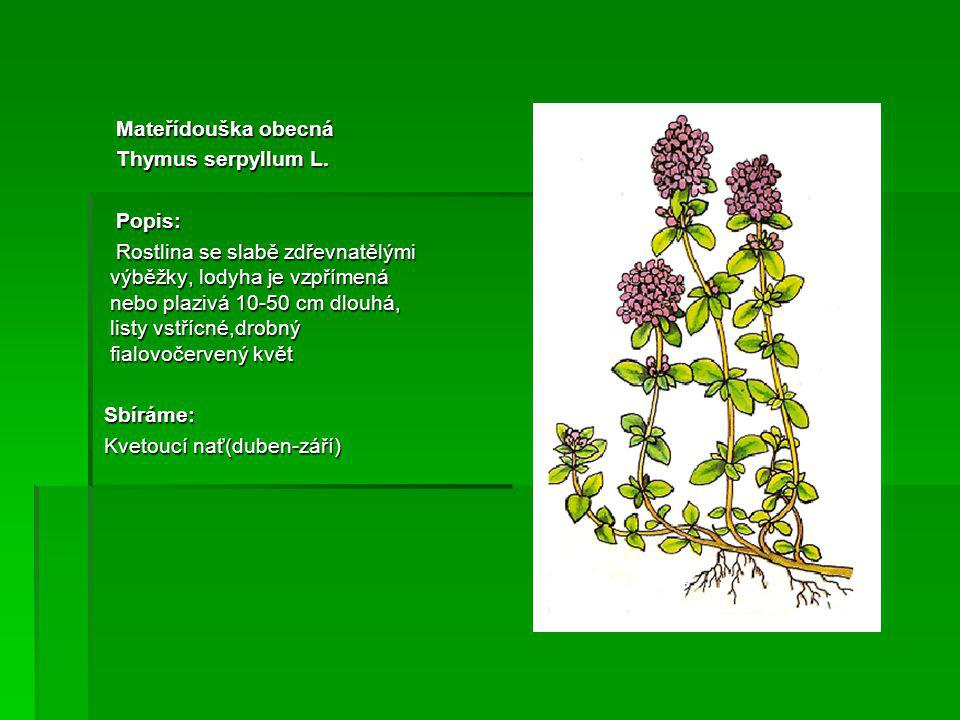 Mateřídouška obecná Thymus serpyllum L. Popis:
