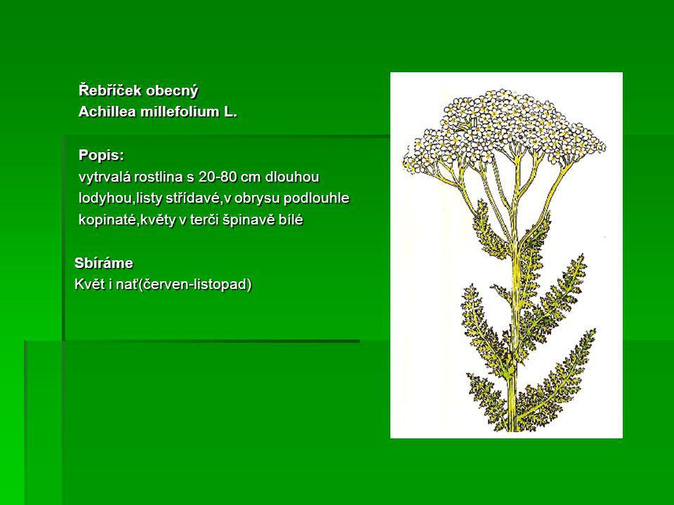 Řebříček obecný Achillea millefolium L. Popis: vytrvalá rostlina s 20-80 cm dlouhou. lodyhou,listy střídavé,v obrysu podlouhle.