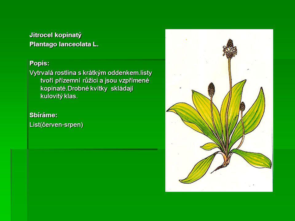 Jitrocel kopinatý Plantago lanceolata L. Popis: