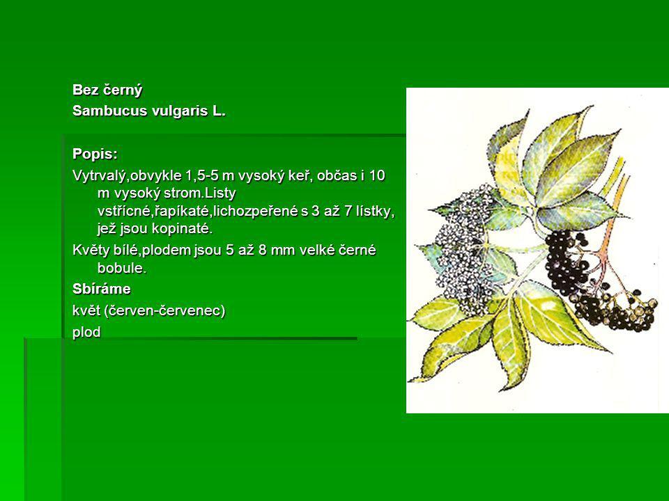 Bez černý Sambucus vulgaris L. Popis: