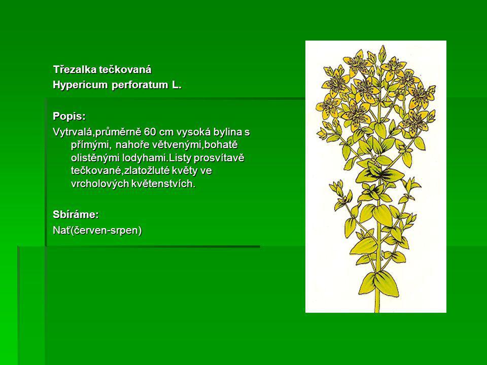 Třezalka tečkovaná Hypericum perforatum L. Popis: