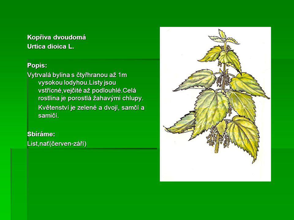 Kopřiva dvoudomá Urtica dioica L. Popis: