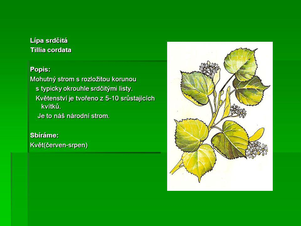 Lípa srdčitá Tillia cordata. Popis: Mohutný strom s rozložitou korunou. s typicky okrouhle srdčitými listy.