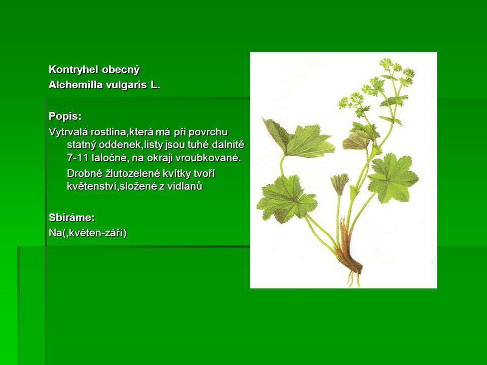 Kontryhel obecný Alchemilla vulgaris L. Popis: