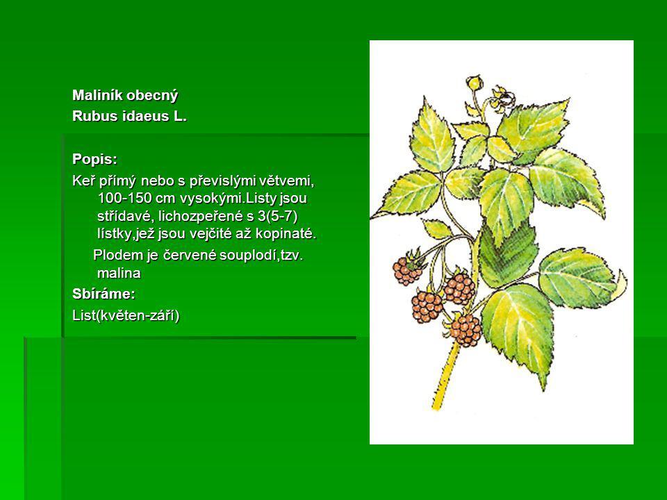 Maliník obecný Rubus idaeus L. Popis: