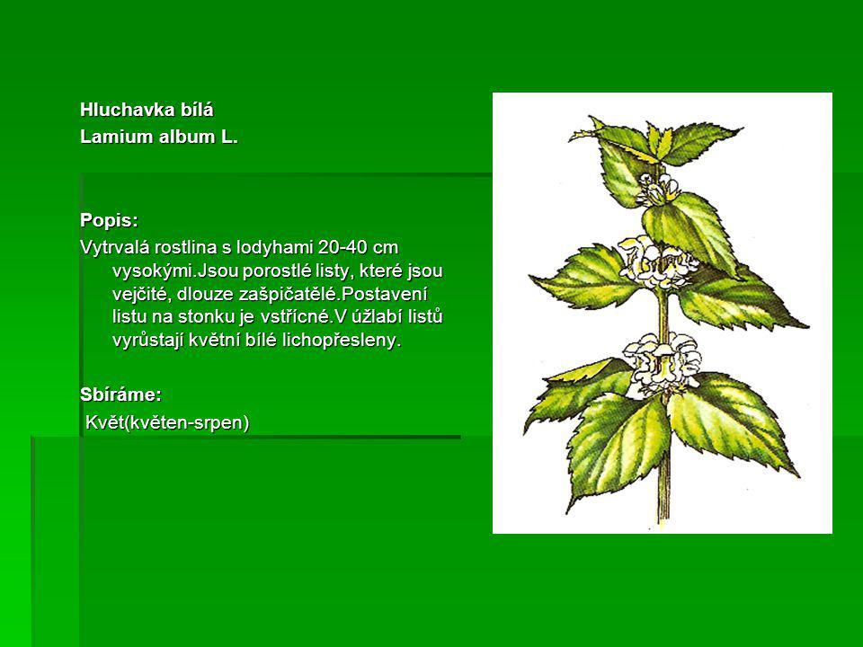 Hluchavka bílá Lamium album L. Popis: