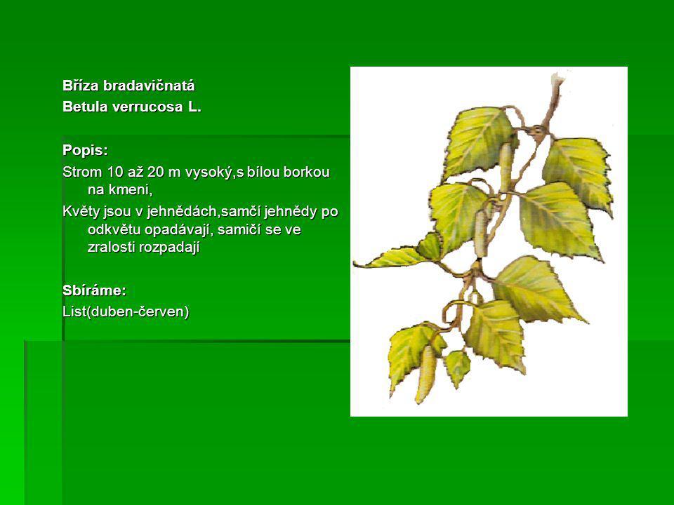 Bříza bradavičnatá Betula verrucosa L. Popis: Strom 10 až 20 m vysoký,s bílou borkou na kmeni,