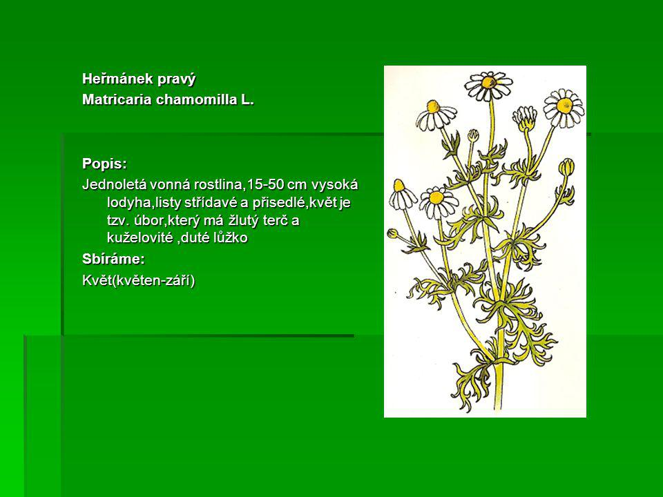 Heřmánek pravý Matricaria chamomilla L. Popis: