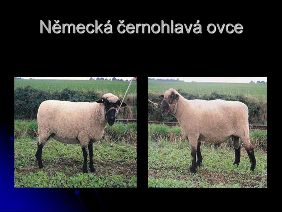 Německá černohlavá ovce