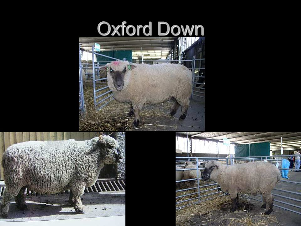 Oxford Down
