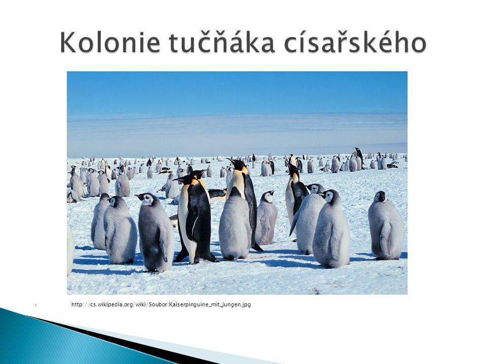 Kolonie tučňáka císařského