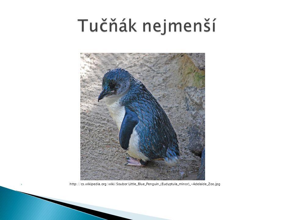 Tučňák nejmenší http://cs.wikipedia.org/wiki/Soubor:Little_Blue_Penguin_(Eudyptula_minor)_-Adelaide_Zoo.jpg.