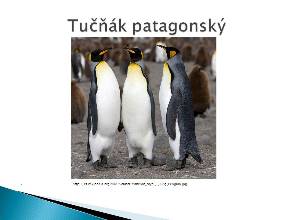 Tučňák patagonský http://cs.wikipedia.org/wiki/Soubor:Manchot_royal_-_King_Penguin.jpg