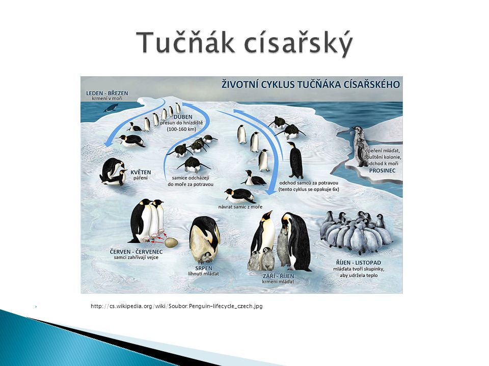 Tučňák císařský http://cs.wikipedia.org/wiki/Soubor:Penguin-lifecycle_czech.jpg