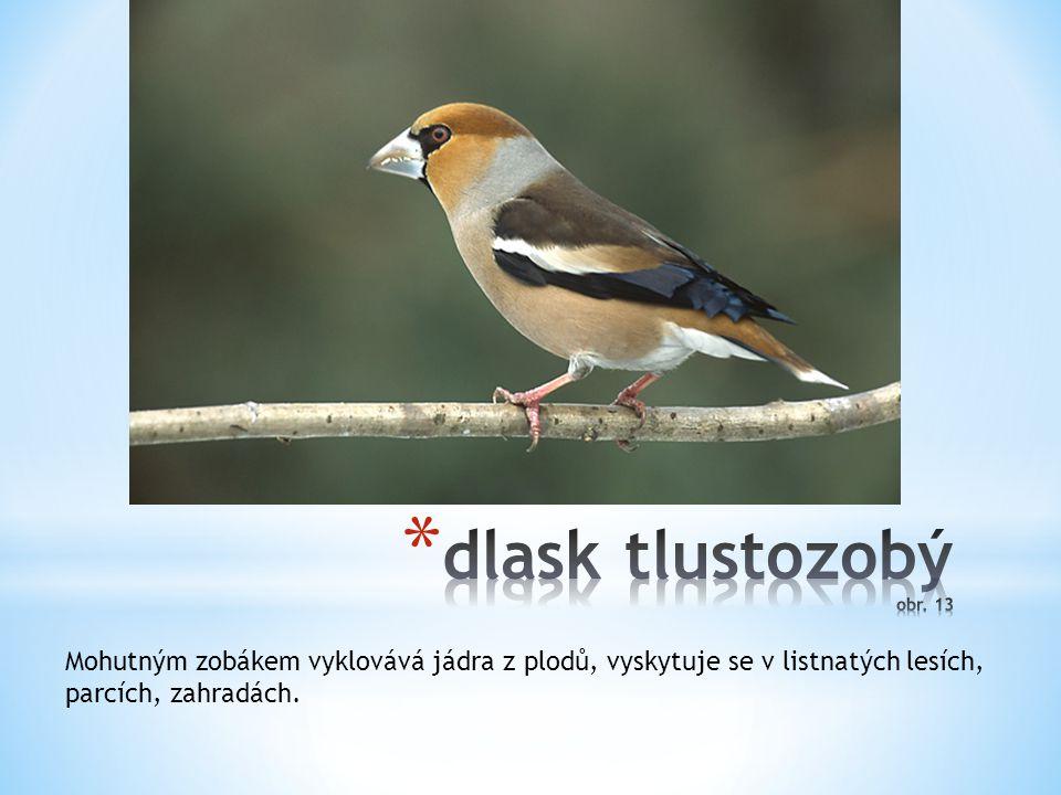 dlask tlustozobý obr. 13 Mohutným zobákem vyklovává jádra z plodů, vyskytuje se v listnatých lesích,