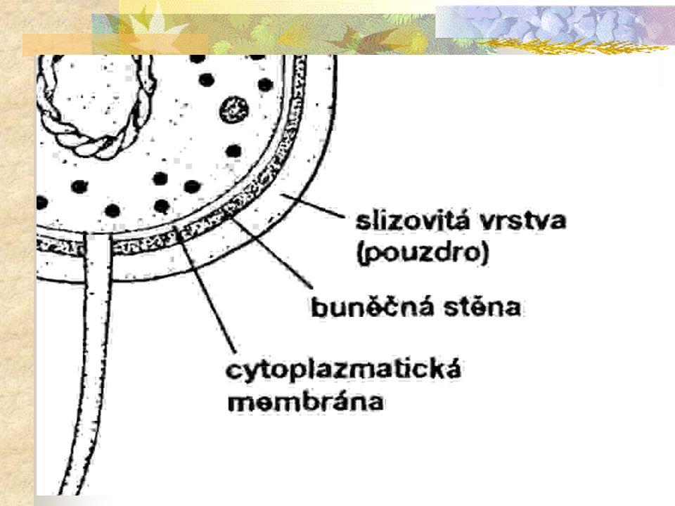 Stavba prokaryotní buňky