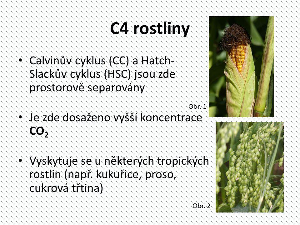 C4 rostliny Calvinův cyklus (CC) a Hatch-Slackův cyklus (HSC) jsou zde prostorově separovány. Je zde dosaženo vyšší koncentrace CO2.