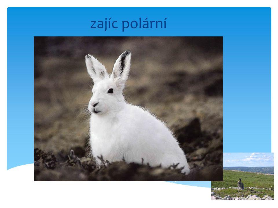 zajíc polární
