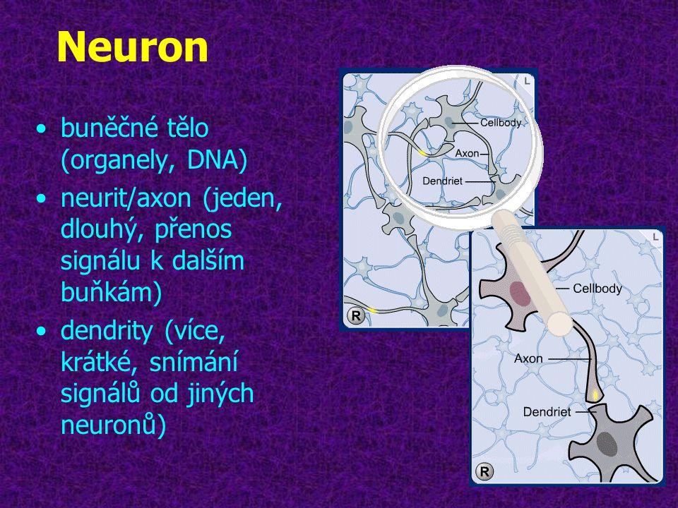 Neuron buněčné tělo (organely, DNA)
