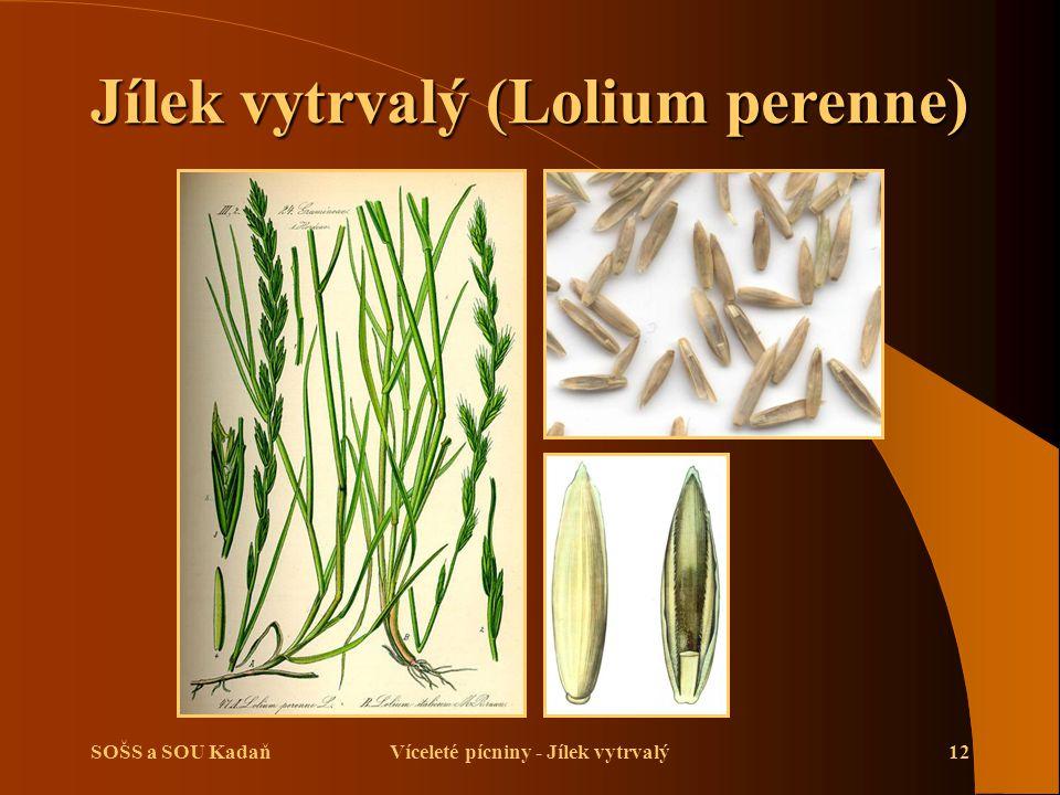 Jílek vytrvalý (Lolium perenne) Víceleté pícniny - Jílek vytrvalý
