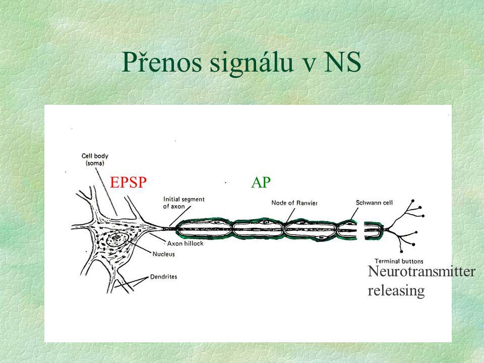 Přenos signálu v NS EPSP AP Neurotransmitter releasing