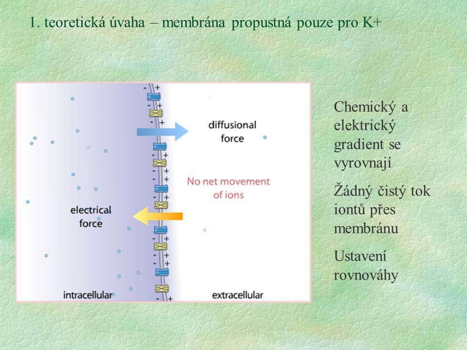 1. teoretická úvaha – membrána propustná pouze pro K+