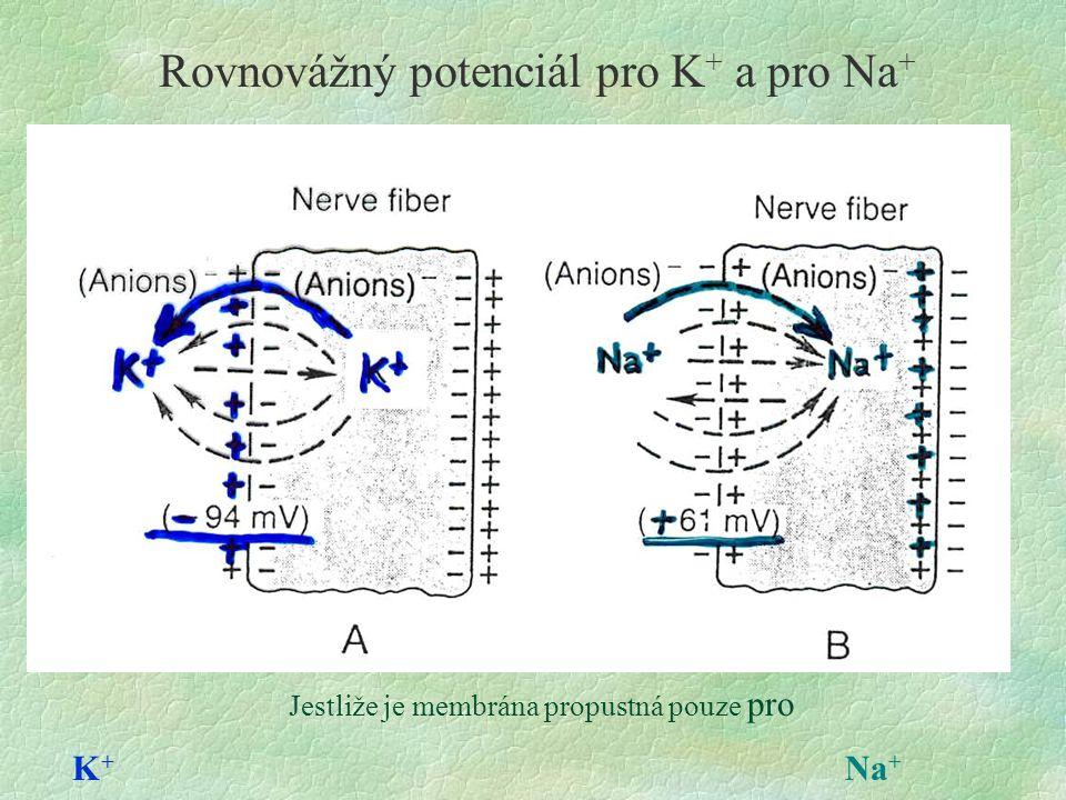 Rovnovážný potenciál pro K+ a pro Na+