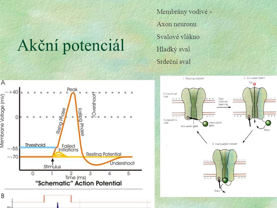 Akční potenciál Membrány vodivé - Axon neuronu Svalové vlákno