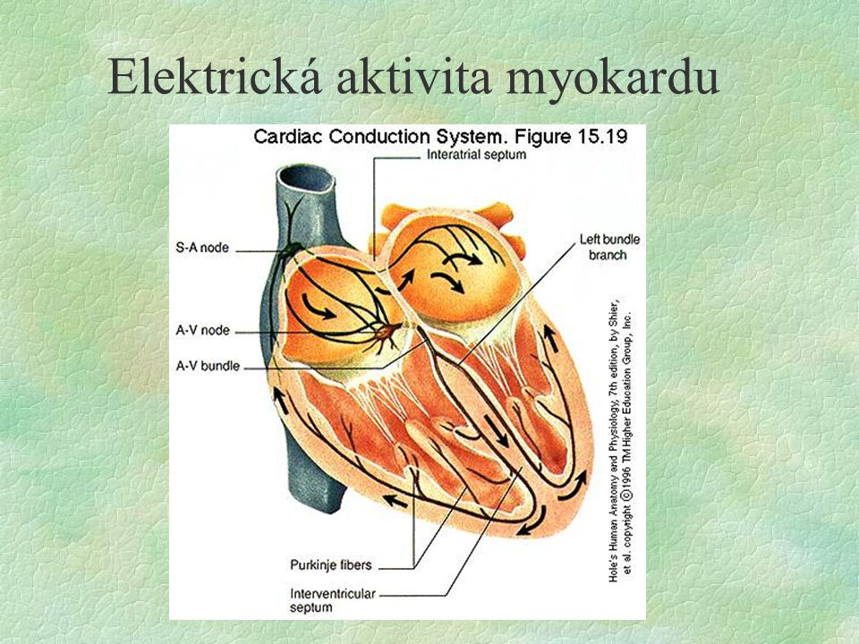 Elektrická aktivita myokardu