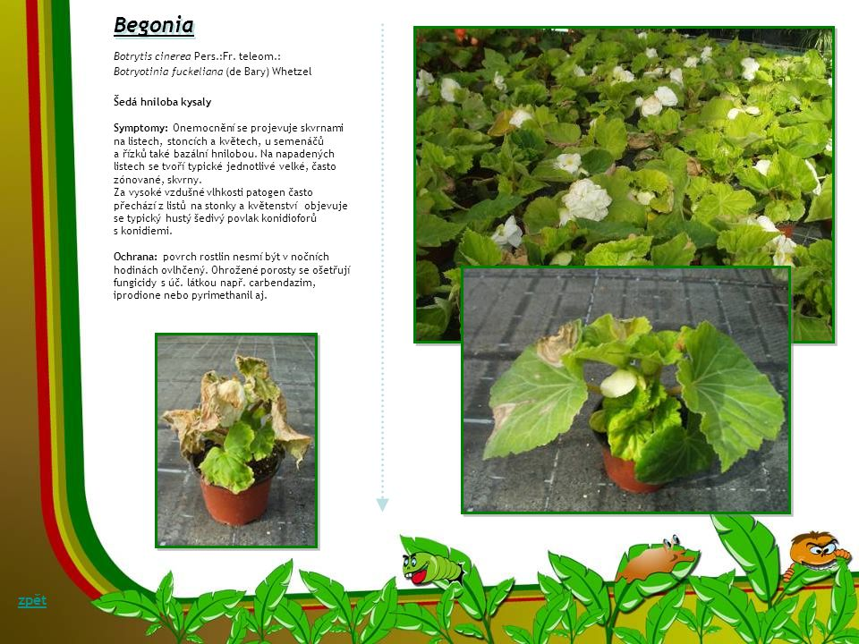 Begonia zpět Botrytis cinerea Pers.:Fr. teleom.: