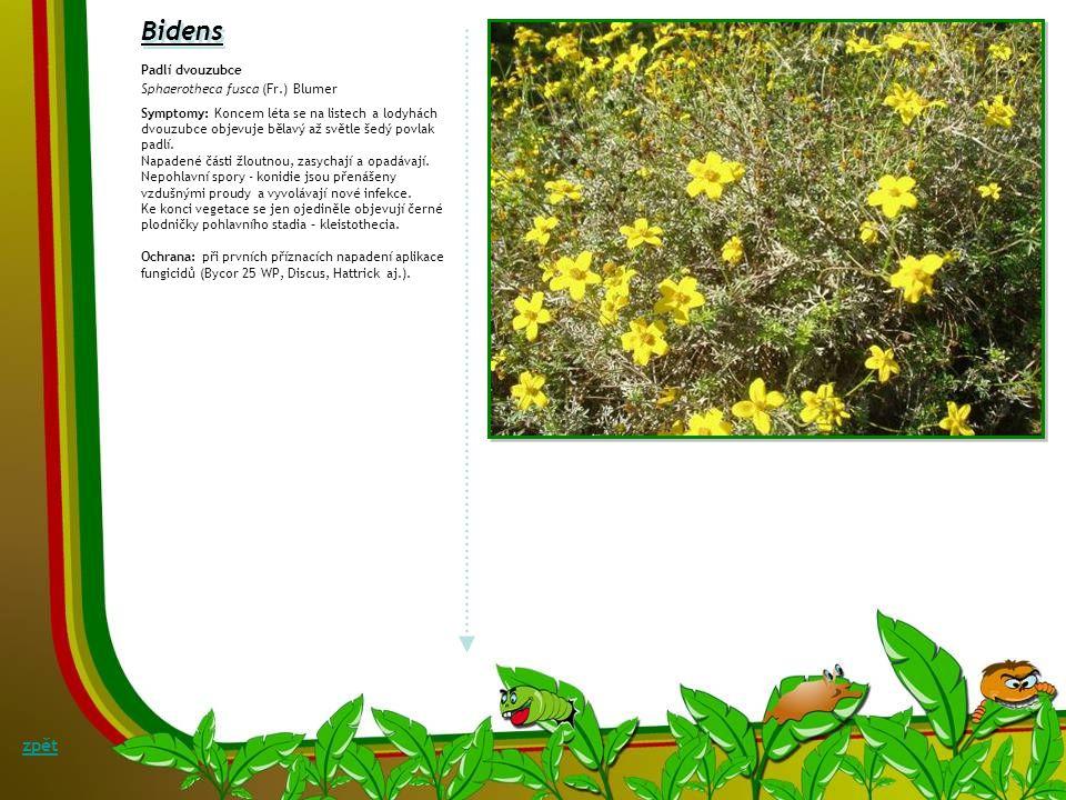 Bidens zpět Padlí dvouzubce Sphaerotheca fusca (Fr.) Blumer