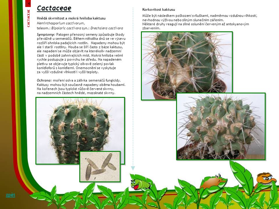 Cactaceae zpět Korkovitost kaktusu