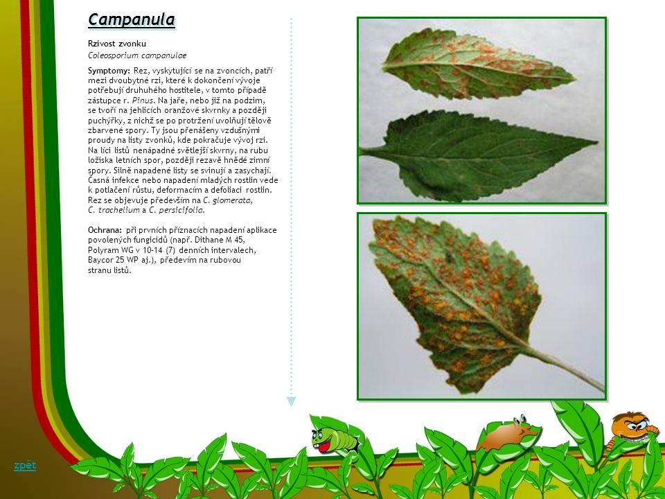 Campanula zpět Rzivost zvonku Coleosporium campanulae