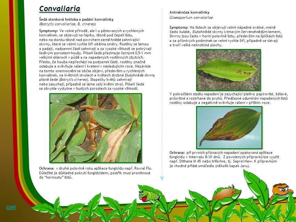 Convallaria zpět Antraknóza konvalinky Gloeosporium convalariae