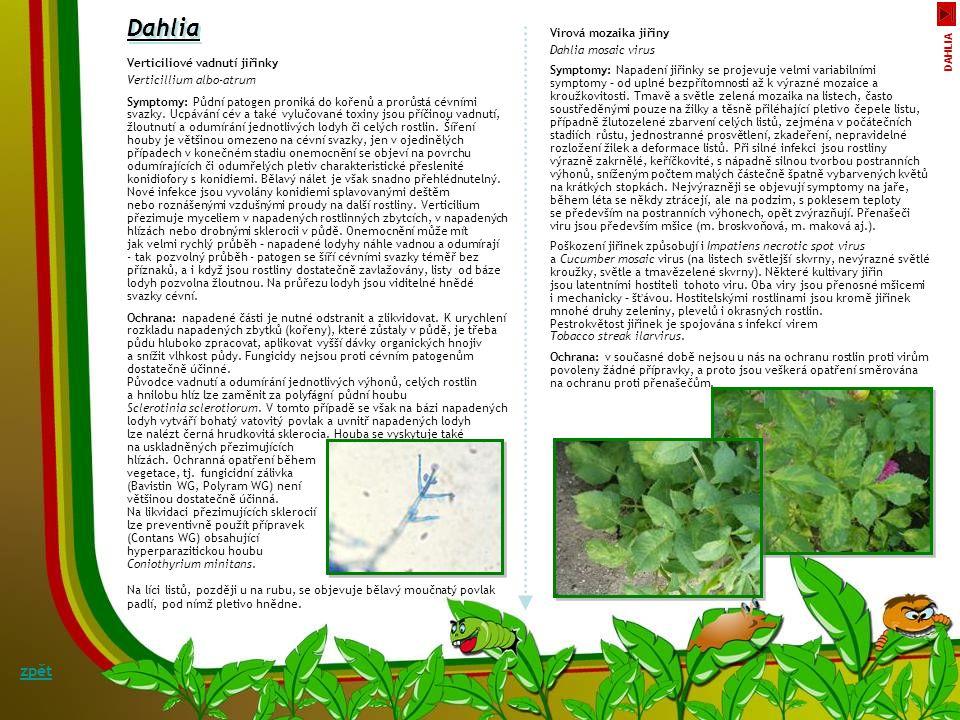 Dahlia zpět Virová mozaika jiřiny Dahlia mosaic virus