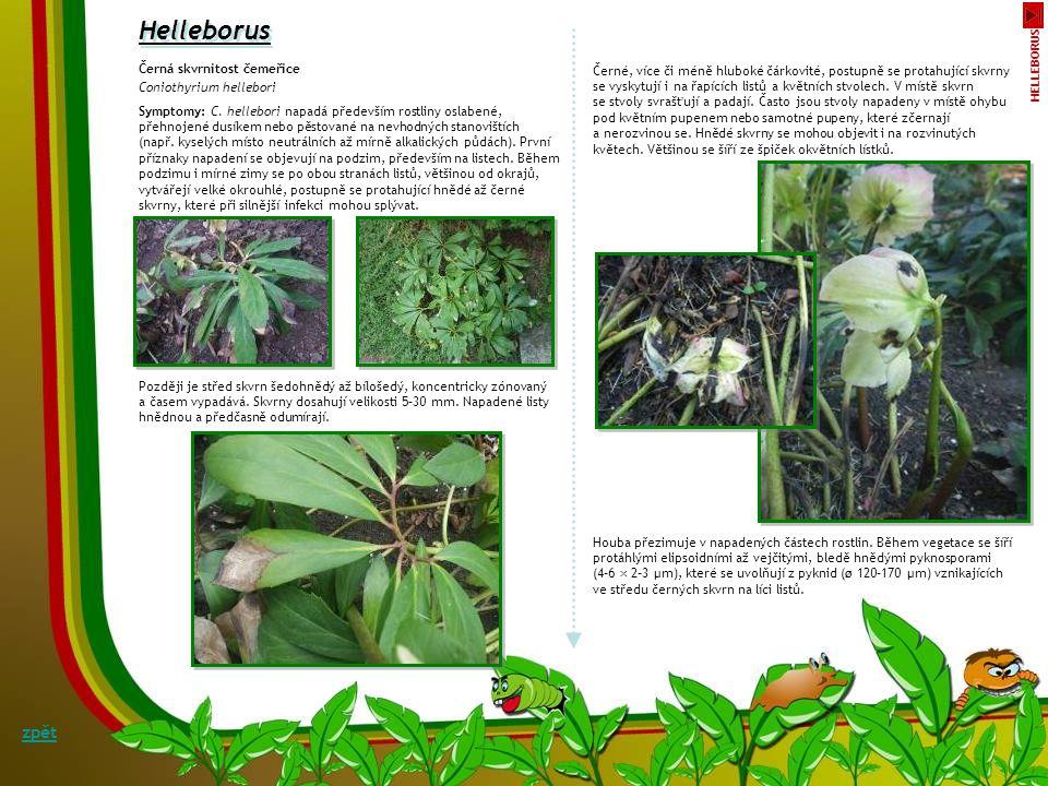 Helleborus zpět Černá skvrnitost čemeřice Coniothyrium hellebori