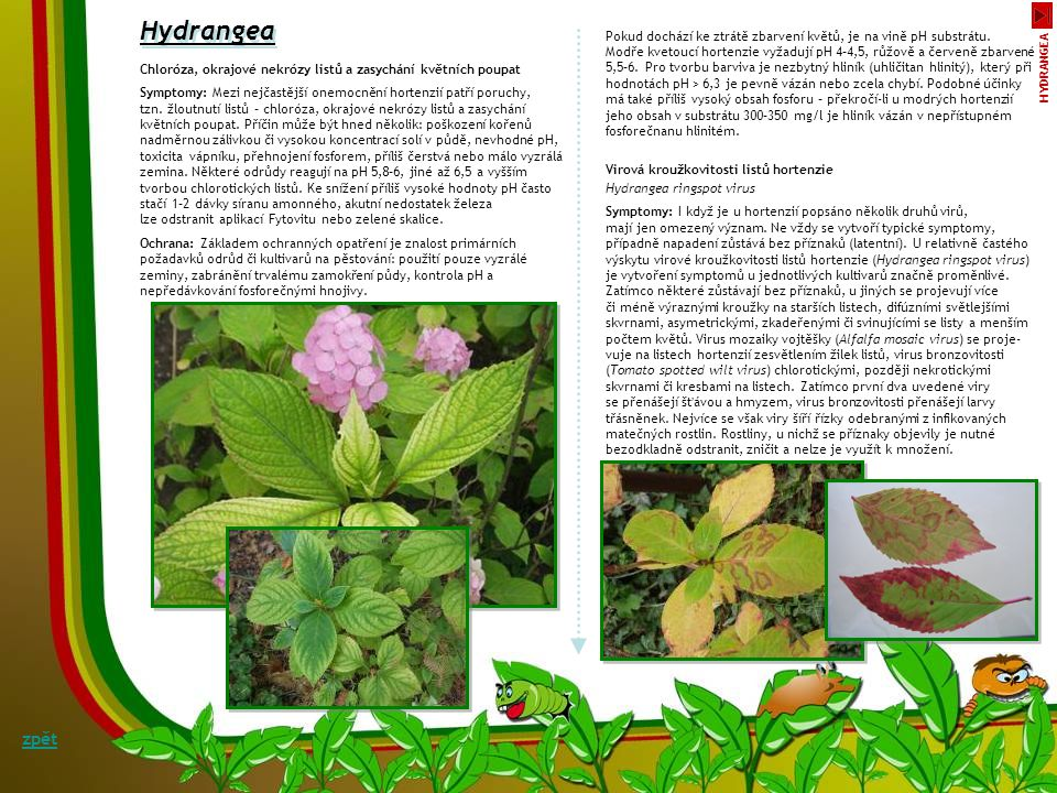 Hydrangea Pokud dochází ke ztrátě zbarvení květů, je na vině pH substrátu. Modře kvetoucí hortenzie vyžadují pH 4–4,5, růžově a červeně zbarvené.