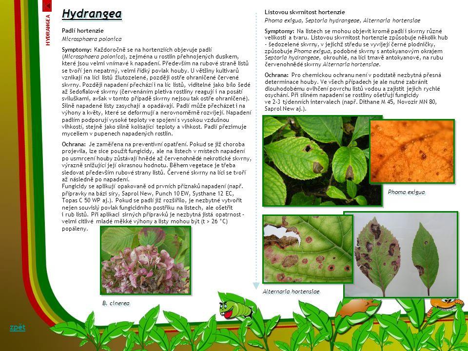 Hydrangea zpět Listovou skvrnitost hortenzie