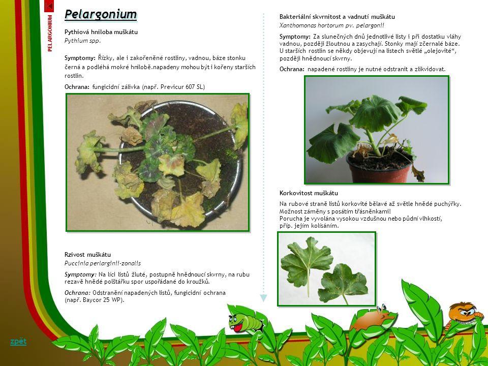 Pelargonium zpět Bakteriální skvrnitost a vadnutí muškátu