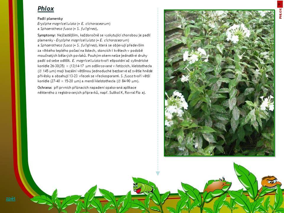 Phlox zpět Padlí plamenky Erysiphe magnicellulata (= E. cichoracearum)