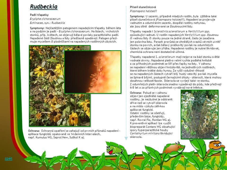 Rudbeckia zpět Plíseň slunečnicová Plasmopara halstedii