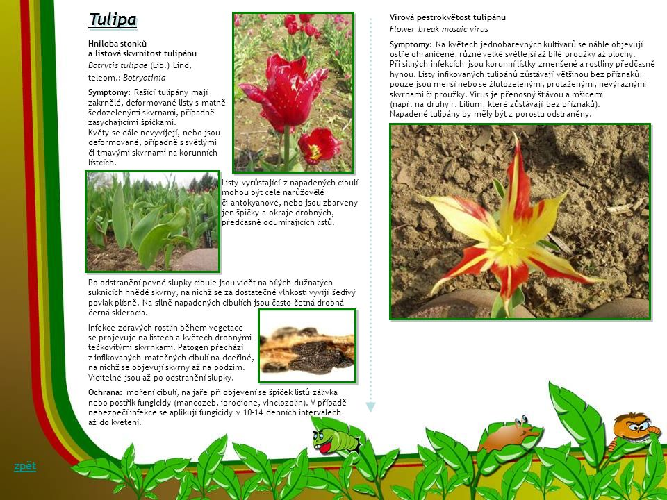 Tulipa zpět Virová pestrokvětost tulipánu Flower break mosaic virus