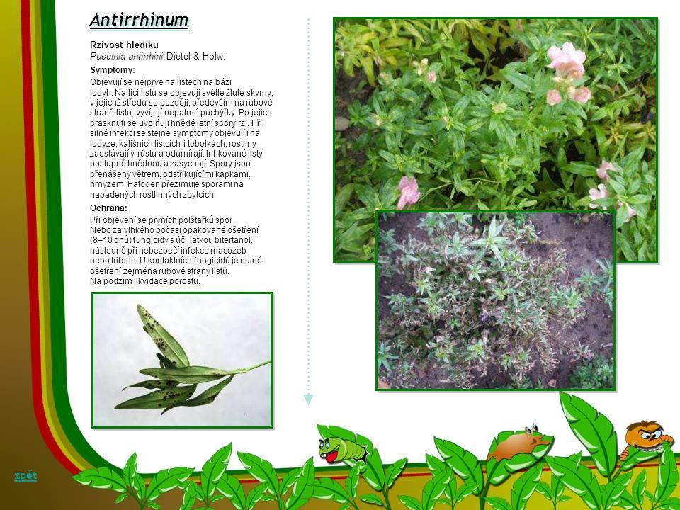 Antirrhinum zpět Rzivost hledíku Puccinia antirrhini Dietel & Holw.